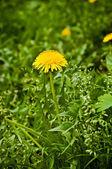 Pampeliška květin — Stock fotografie