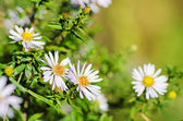Divoký heřmánek květiny — Stock fotografie
