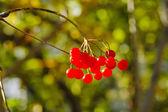 Viburnum bayas — Foto de Stock