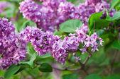 Zweig der lila Blumen — Stockfoto