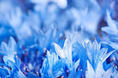 Cornflower background — Stock Photo