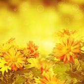 Chrysanthemum golden floral background — Stock fotografie