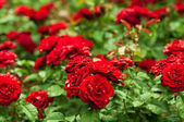 Red roses garden — Stock Photo