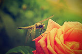 Dragonfly on the rose — Stock Photo