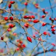 Rosehip berries — Stock Photo #41148941