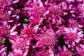 Chrysanthemum macro — Stock Photo