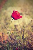 Flor de amapola — Foto de Stock