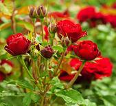 Red roses garden — Stock Photo
