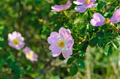 Flowers of dog-rose — Stock Photo