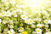 Wild camomile flowers — Stock Photo
