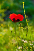 Poppy in a field — Stock fotografie
