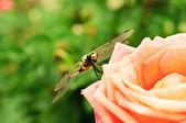 Ważka na róży — Zdjęcie stockowe