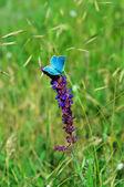 Blue butterfly on flower — Stock Photo