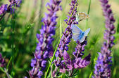 Blue butterfly on flower — Stock Photo