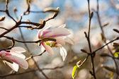 магнолия белая цветы — Стоковое фото