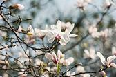 Magnolia witte bloemen — Stockfoto