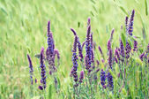Violet  meadow flower — Stock Photo