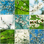 Apricot flowers collection — Stock Photo