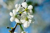 樱桃花 — 图库照片