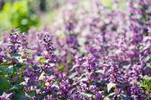 Fiori viola — Foto Stock