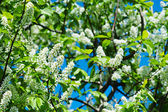Bird-cherry tree flowers — Stock Photo