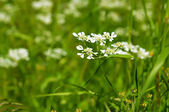 Spring white  flowers — Stock Photo