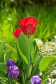 Red beautiful tulips — Stock Photo