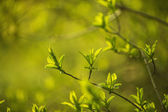 Sunny green leaves — Stock Photo