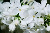 Fundo de flores lilás — Foto Stock