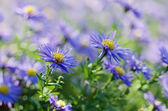 Violet flowers — Foto de Stock