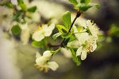 Třešňové květy — Stock fotografie