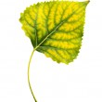 Poplar leaf — Stock Photo #48536647