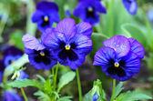 Violet viooltje — Stockfoto