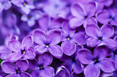 Lilac flowers background — Stock Photo