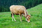 Dairy cow grazing at meadow — Stockfoto