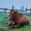 Dairy cow lying at meadow — Stock Photo #50406111