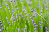 Lavendelblüten — Stockfoto