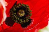 Poppy petal macro — ストック写真