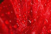 Poppy petal macro — Stockfoto