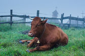 Dairy cow lying at meadow — Stock Photo