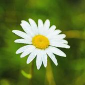 野生カミツレの花 — ストック写真