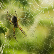 Large spider in the web — Stock Photo #51062651