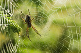 Large spider in the web — Stock Photo
