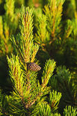 Alpine pine — Stock Photo