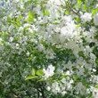 A blooming branch of apple tree in spring — Stock Video #12162321