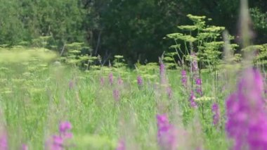 Purple Alpine Fireweed — Stock Video