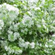 A blooming branch of apple tree — Stock Video