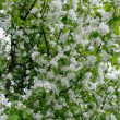 Stock Video: A blooming branch of apple tree