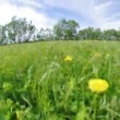 Stock Video: Field of dandelions,blue sky and sun.
