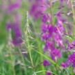 Stock Video: Purple Alpine Fireweed